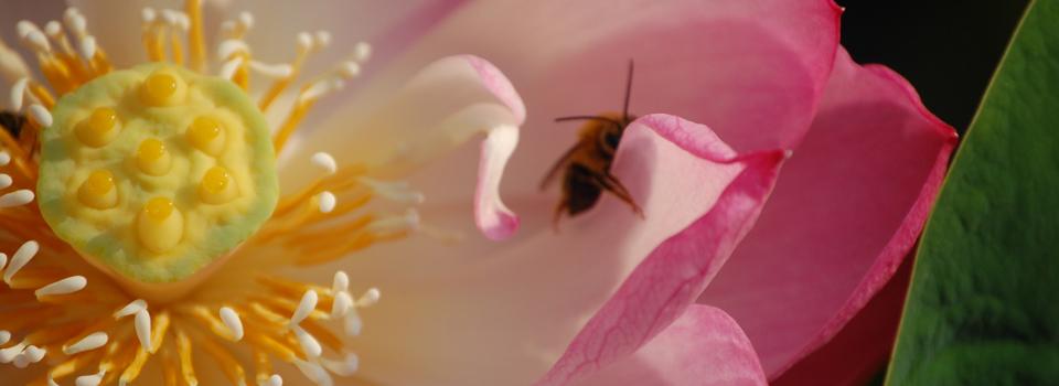 lotus + bee_960x350